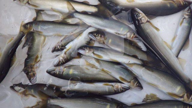 釣れた鮎の画像
