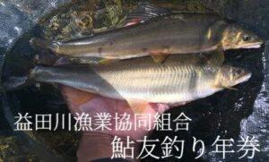 益田川の鮎